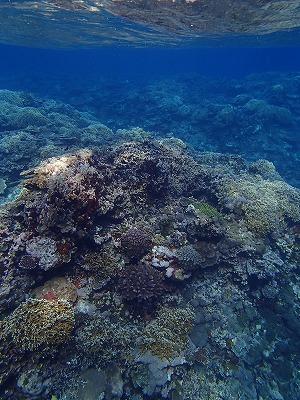 西表島のシュノーケリングツアーメラマウリゾートでコブシメの産卵