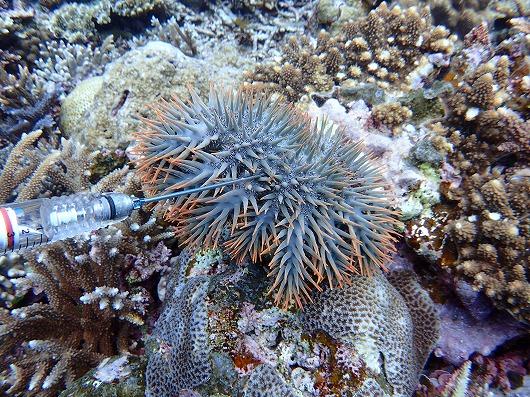 西表島のサンゴ礁を守るオニヒトデ退治