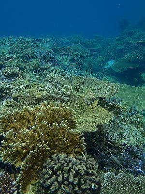 美しいサンゴの海をシュノーケリング