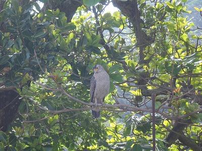 西表島のレア「カンムリワシ」