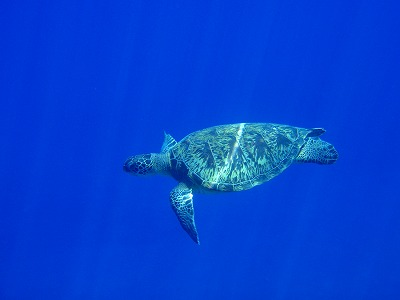 アオウミガメとシュノーケリング