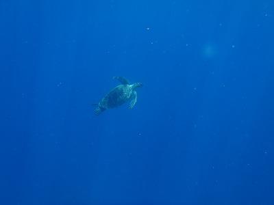 ウミガメの優雅な泳ぎ