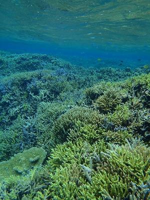 色とりどりのエダサンゴで快適シュノーケリング