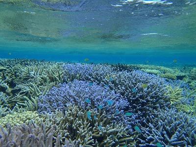 西表島のシュノーケリングでカラフルなサンゴ