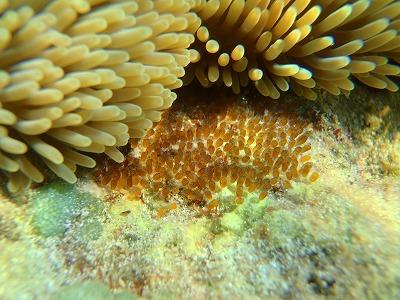 西表島の海でシュノーケリングでニモちゃんのタマゴを発見