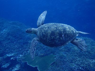 今年3回目リピーターさんと美しすぎる奥西表島網取崎山シュノーケリングでウミガメ13匹!