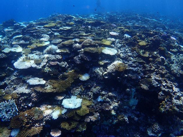 八重山でサンゴの白化現象はなぜ起きた?