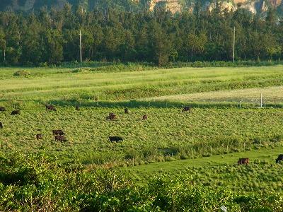 夕飯の牛達